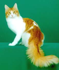 Kucing Anggora Kuning Putih