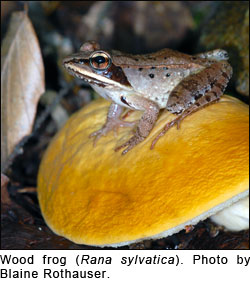 Wood frog (Rana sylvatica). Photo bu Blaine Rothauser.