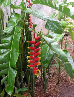 Heliconia rostrata, La Ceiba, Honduras
