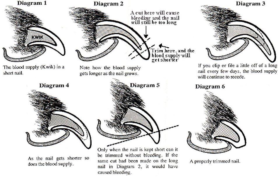 Welcome To Kiokee Mastiffs How To Cut Toenails