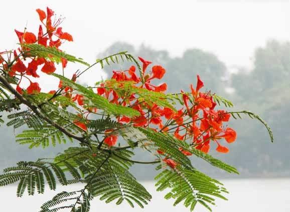 bunga merah tanaman pelindung flamboyan