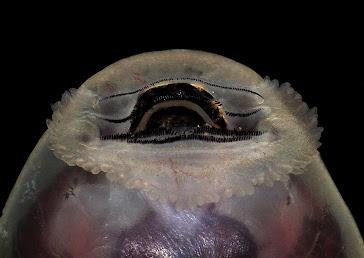 Larvas