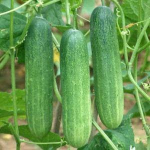 Cara meningkatkan hasil panen budidaya ketimun dengan pupuk organik nasa
