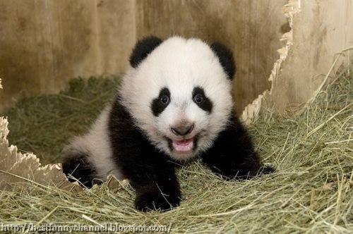panda bears pictures 30