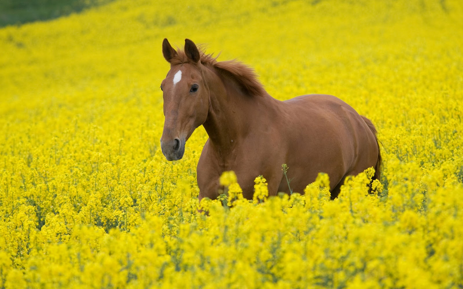 Brown Horse In Yellow Flowers Field HD Animal And Nature Wallpaper