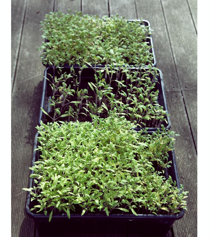 semis tomates bacs