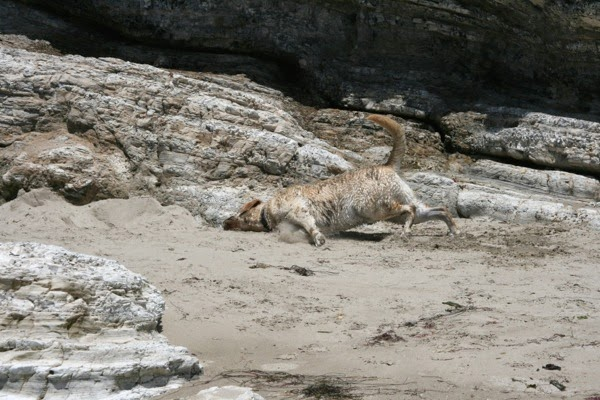 Labrador Cooper rolling in sand Hendry's Beach