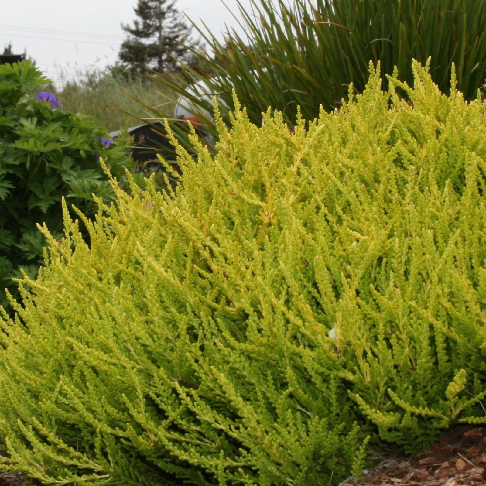 Blossoms calluna for Calluna vulgaris