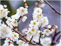 かわいい白の梅の花