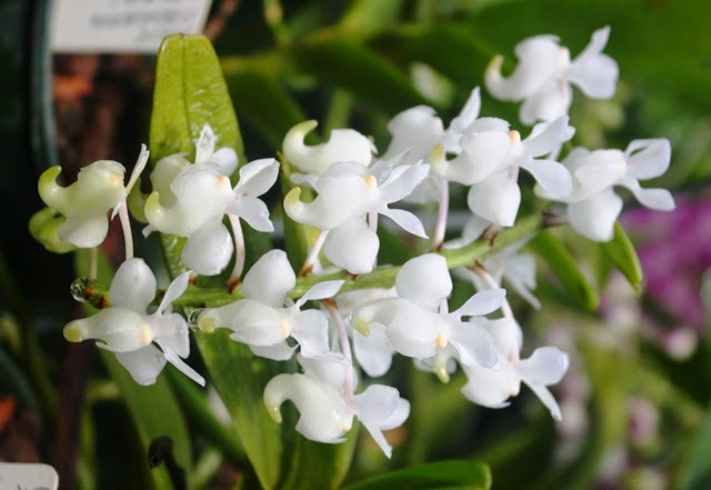 Aerides odoratum Var. Alba