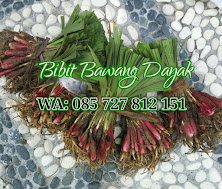 Foto Bibit Bawang Dayak