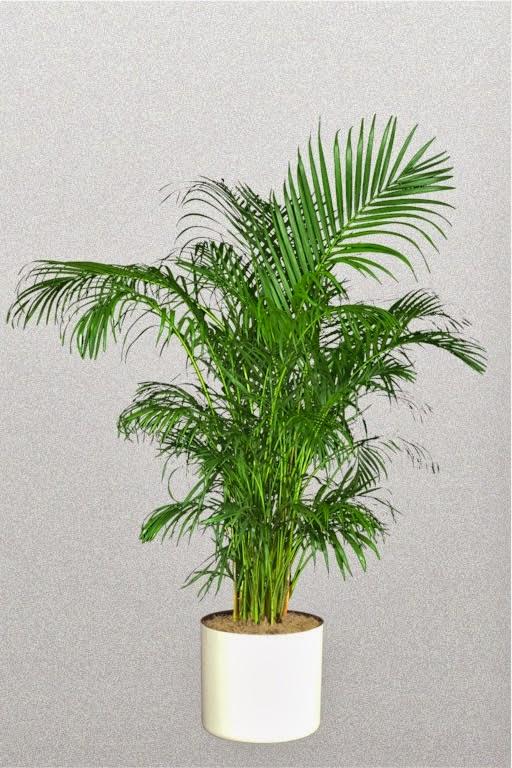 El aparejador optimista 10 plantas de interior para renovar el aire - Plantas de interior palmeras ...