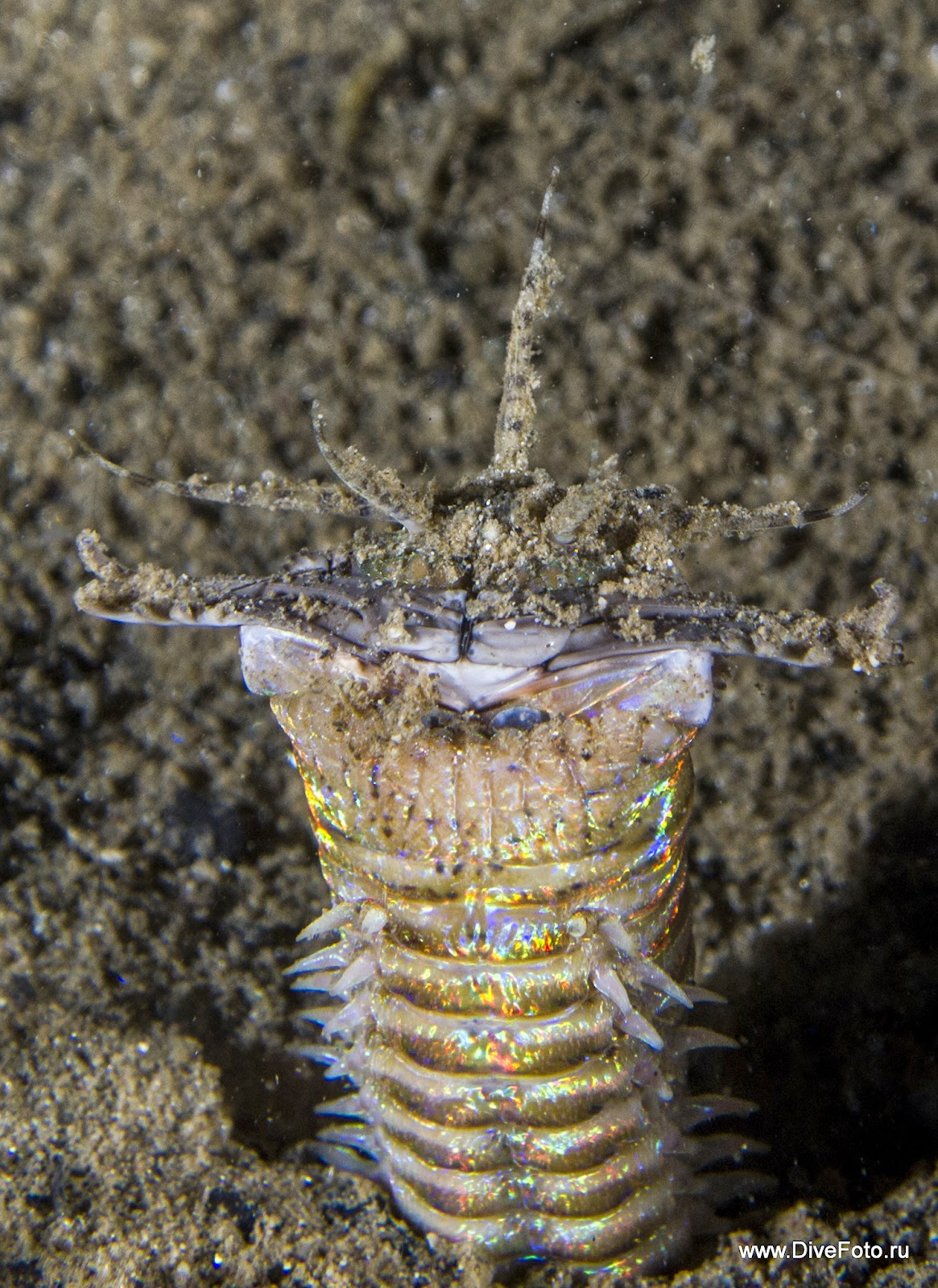 Bobbit worm (Червь Боббита) фото