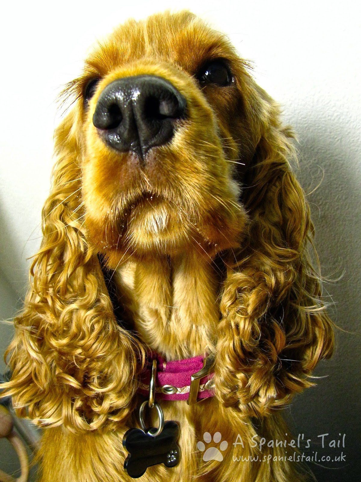 A Spaniels Tail Dog identification and the law