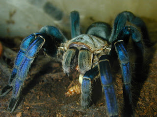 tarantula cobalt blue giant spider haplopelma lividum animal pets arachnida species wallpaper