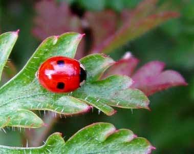 http://www.statesymbolsusa.org/Massachusetts/insect_ladybug.html