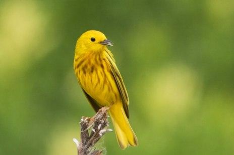 Yellow Warbler Bird
