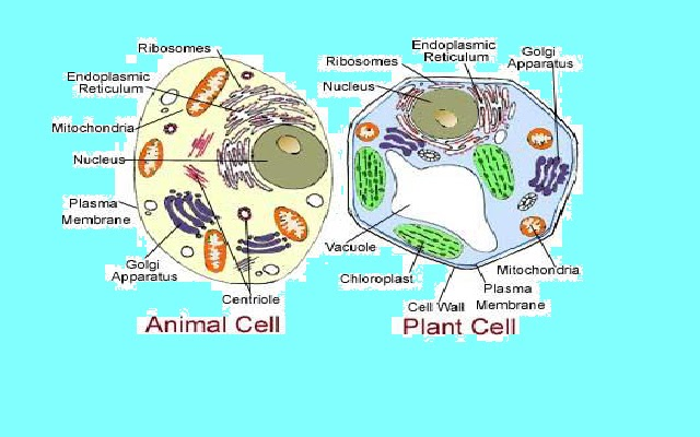 Comparisons Between Plant And Animal Cells Comparison of Plant Cell And