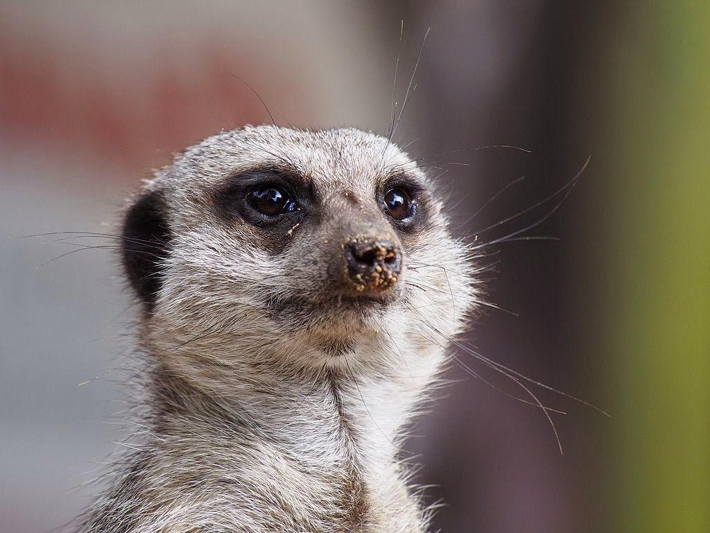 Meerkat Facts   KnowLedge