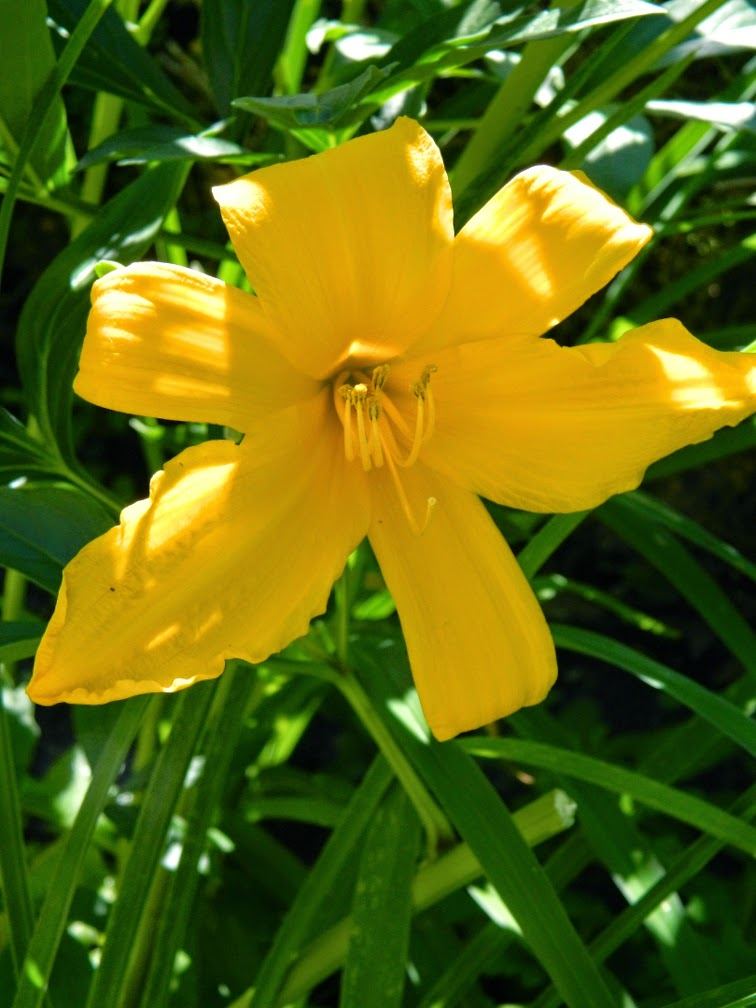 Golden Gate Hemerocallis daylily by garden muses-not another Toronto gardening blog
