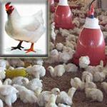 gambar ayam potong Broiler