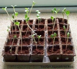 sunflower seedlings in burpee seed starting kit