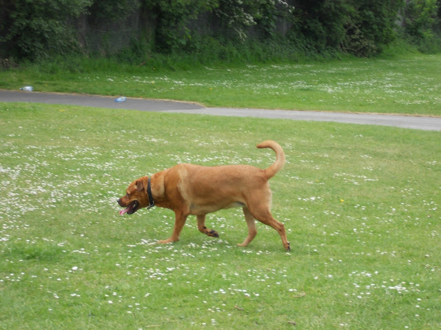 Sheba running in the park.