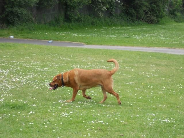 Sheba running in the park.