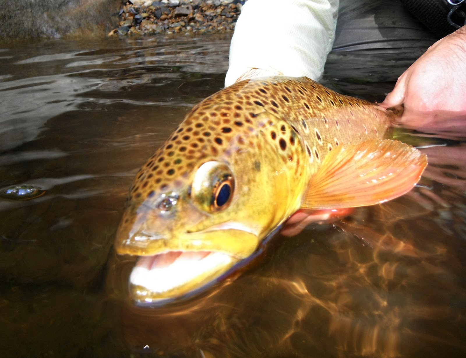 Western maryland fly fishing the state of western for Trout fishing maryland