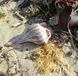 Whelk Shell on Montauk's beach