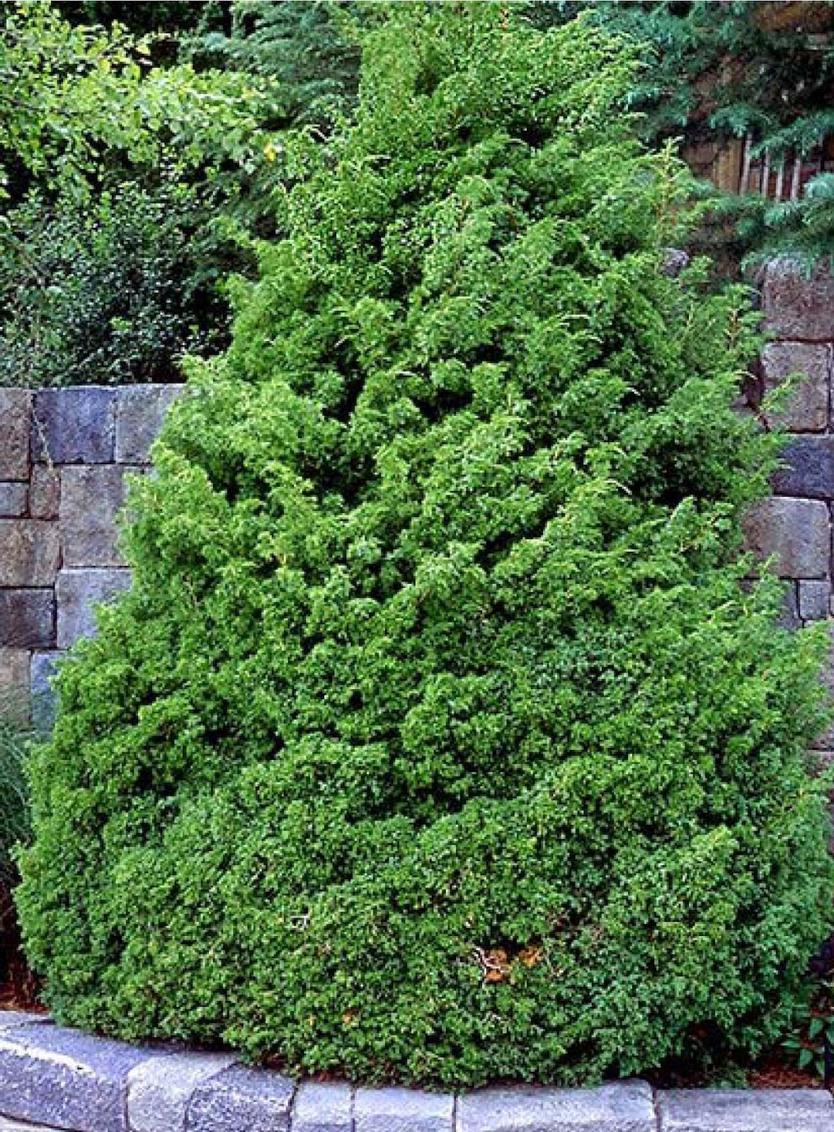 Juniper evergreen trees bing images for The evergreen