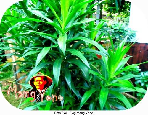 Manfaat dan khasiat dari daun suji