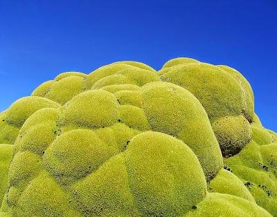 tanaman usia ribuan tahun-4