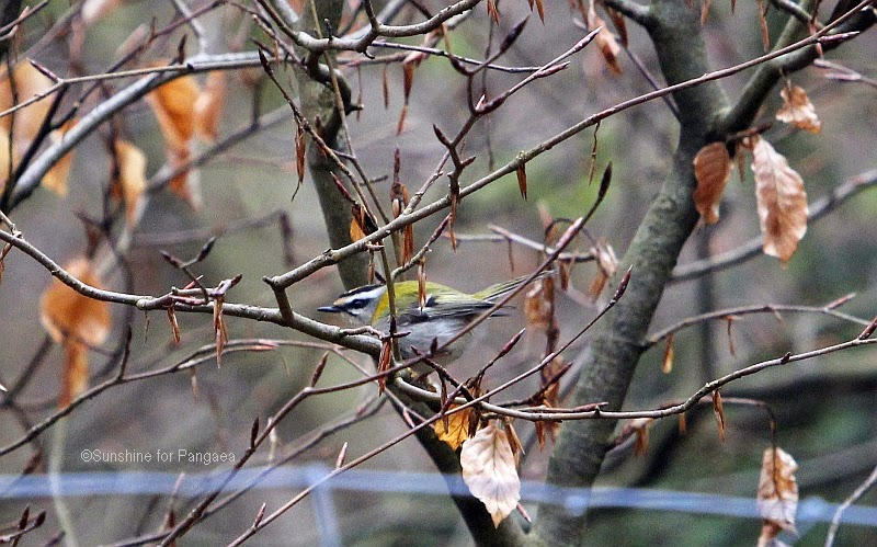 Common Firecrest in  tree