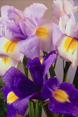 Iris morados y lilas