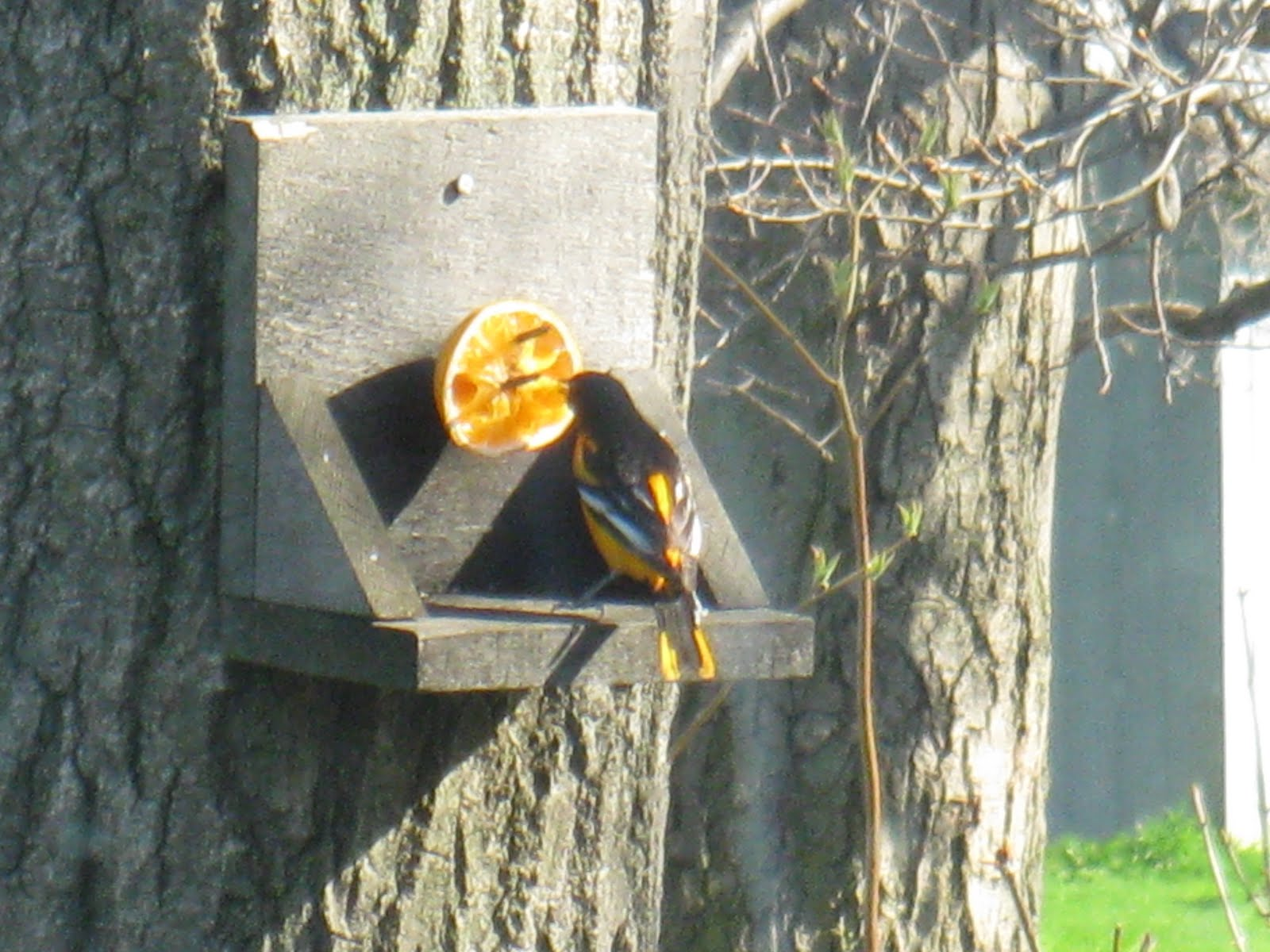 Baltimore Oriole Eggs