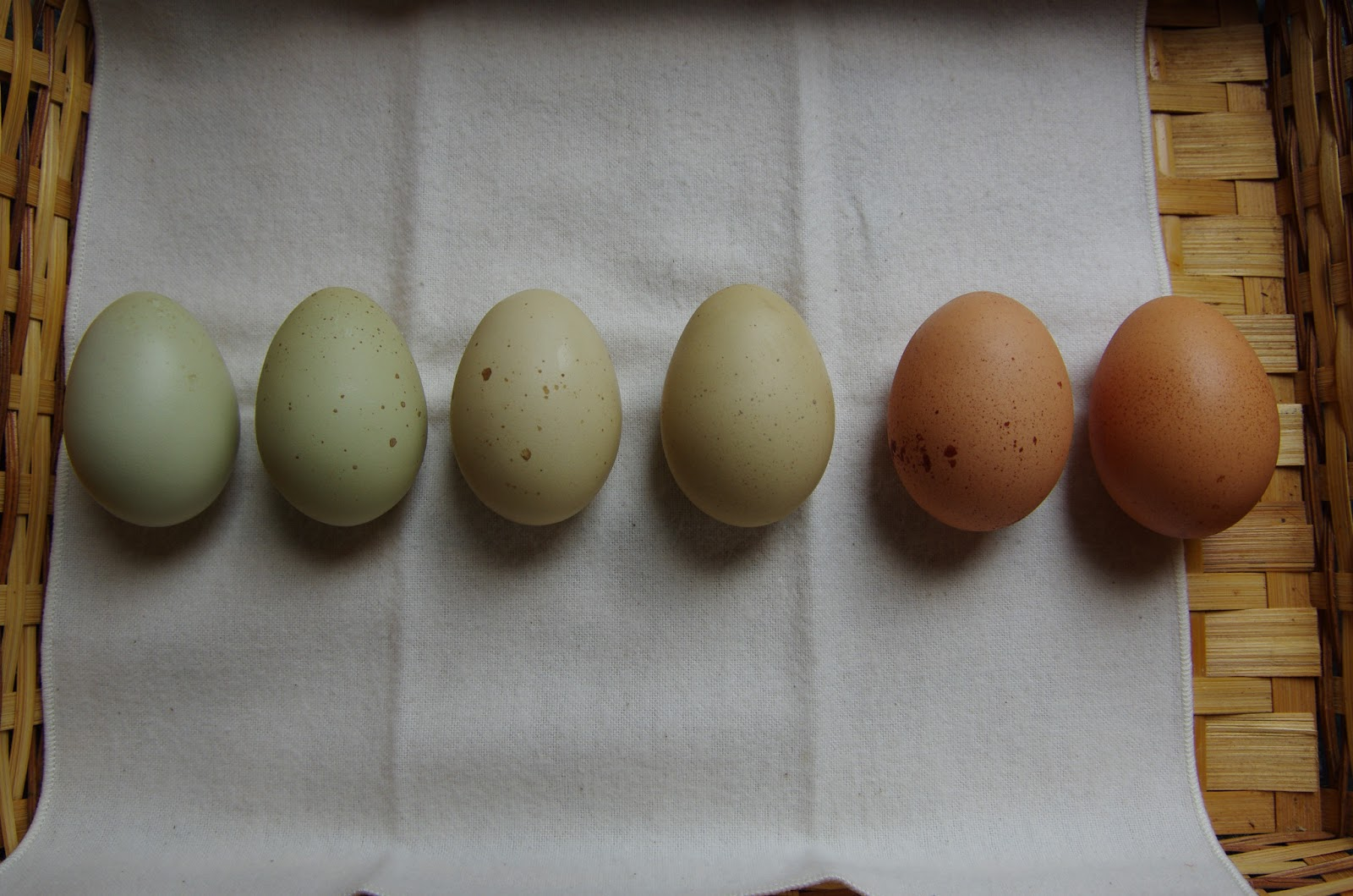 All about egg color community chickens nvjuhfo Gallery