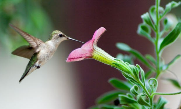 wild birds unlimited  where have my hummingbirds gone