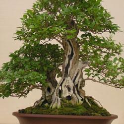 Bonsai Anfänger botaniquarium blog: bonsai workshop für anfänger