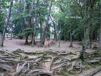 A deer in Nara Park, Japan