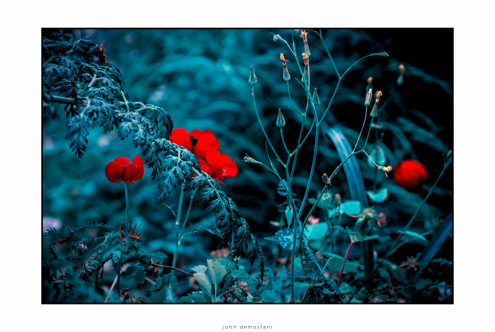 Wildflowers, poppies, , flowers, Flowers & Plants, foliage, Nature, Nature_and_Landscape_photography