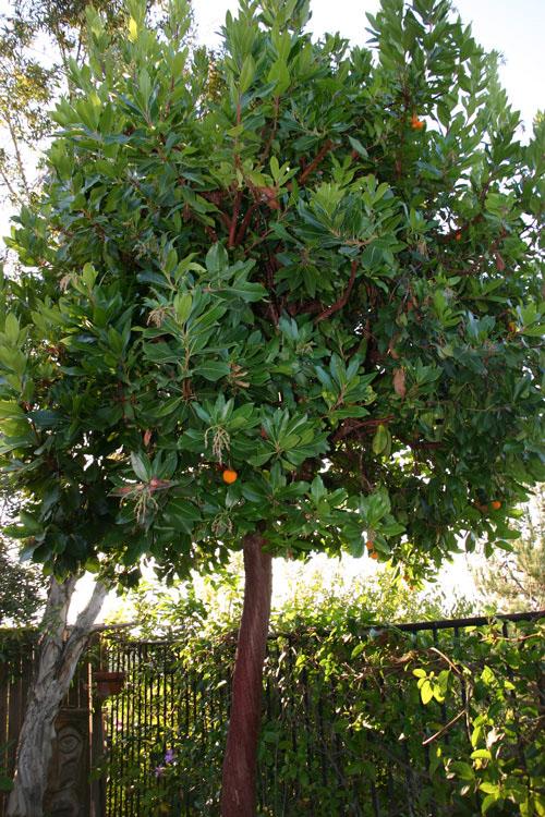 arbutus marina strawberry tree - photo #19