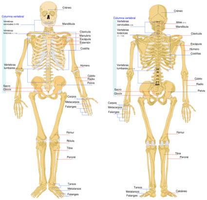Esqueleto humano y sus partes principales - Imagui