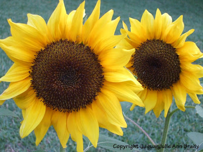 Two Pretty Yellow Sunflower Blossoms Side by Sid