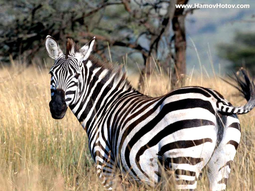 Zebra wallpaper zebra wallpapers amazing wallpapers for Zebra wallpaper