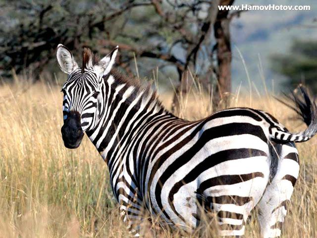 zebra wallpaper zebra wallpapers amazing wallpapers