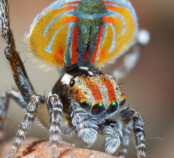 peacock spider jurgen otto
