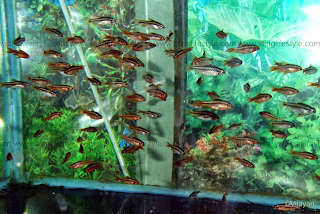 cherry barb picture and care