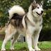 Giới thiệu dòng chó Alaska malamute