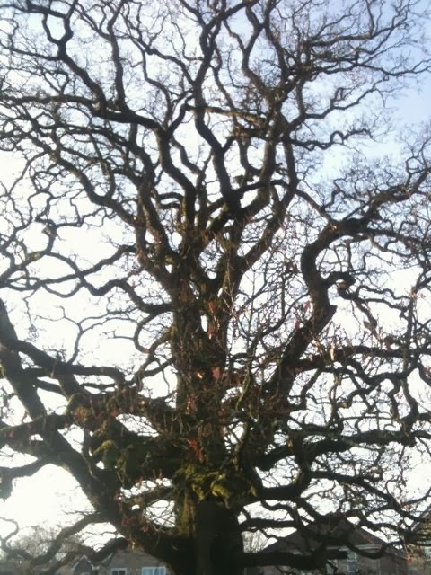 our mighty oak now leafless